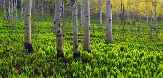 Aspen forest. Royalty Free Stock Photo