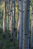 Aspen forest. Stock Images