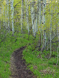 Aspen forest. Royalty Free Stock Photography