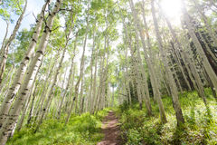 Aspen forest trail. Trail through aspen forest in coloardo Royalty Free Stock Image
