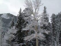 Aspen Frosted mit Schnee Lizenzfreie Stockfotos