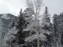 Aspen Frosted with Snow. Aspen covered with snow in winter.  Evergreens and mountains in background Royalty Free Stock Photos