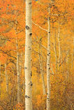 Aspen gold in the Wasatch Mountains. Royalty Free Stock Photos