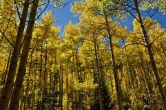 Aspen Grove à la crête Images stock