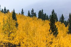 Aspen Grove Foto de archivo libre de regalías