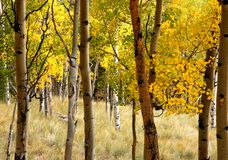 Aspen Grove. An aspen grove in the Colorado mountains Royalty Free Stock Images