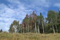 Aspen Grove. Fall aspen grove in the mountians of northern Colorado Royalty Free Stock Photos