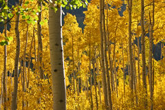 Aspen Grove Royalty Free Stock Photography