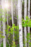 Aspen grove Stock Photo