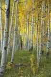 Aspen Grove Immagini Stock