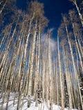 Aspen Grove Imagenes de archivo