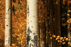 Aspen Grove. Horizontal close-up of white trunks of aspen grove in the fall Stock Image