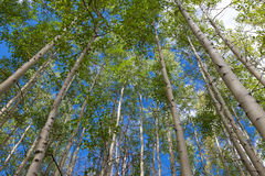 Aspen grove against blue sky Stock Image