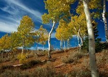 Aspen Grove in Autumn. A grove of Quaking Aspens showing Autumn colors in the Mt Nebo Wilderness Stock Photography