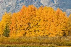 Aspen Grove in Autumn Royalty Free Stock Image