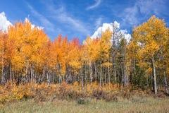 Aspen Grove in Autumn Stock Photography