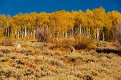 Aspen grove at autumn in Rocky Mountains Stock Photography