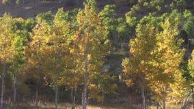 Aspen Grove in Autumn. Scenic mountain aspen grove in fall stock video footage