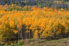 Aspen Grove in Autumn. Scenic mountain aspen grove in fall Stock Image