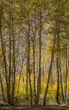 Aspen Grove - bispo California fotografia de stock royalty free