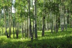 Aspen grove in Colorado. Aspen grove in Rocky Mountain National Park, Colorado stock photos