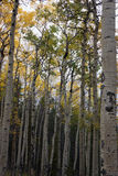 Aspen Grove in Colorado. Aspen grove in Fall along Colorado's Moody Hill Trail in the backcountry Royalty Free Stock Images