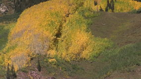 Aspen Grove in Daling stock footage