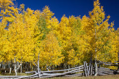 Aspen Grove in Fall Royalty Free Stock Image