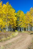 Aspen Grove in Fall Stock Image