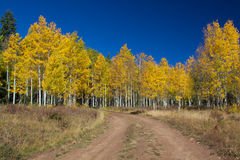 Aspen Grove in Fall Stock Photo