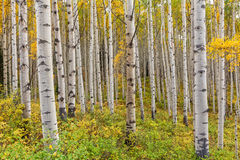 Aspen Grove in Fall Stock Images