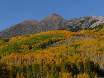 Aspen Grove in Fall Royalty Free Stock Photography