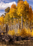 Aspen Grove Stock Images