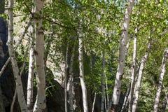 Aspen Grove i Custer State Park royaltyfria foton