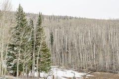 Aspen grove iand spruce n winter Royalty Free Stock Photo