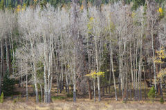 Aspen Grove in Late Fall Stock Photos