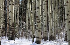 Aspen grove at the late winter royalty free stock photos