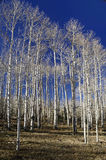 Aspen Grove without Leaves Royalty Free Stock Image