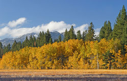 Aspen Grove and Meadow Stock Photography