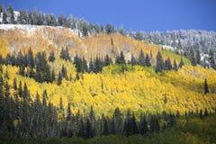 Aspen Grove na Sneeuw Stock Afbeelding