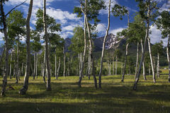 Aspen Grove och sikt av San Juan Mountains, Hastings Mesa, Ridgway, Colorado, USA royaltyfria foton