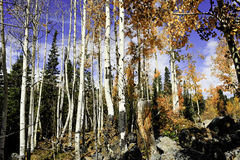 Aspen grove in the Rocky mountains Stock Image