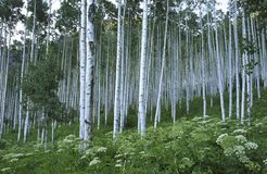 Aspen grove in Rocky Mountains Stock Image