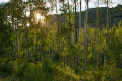 Aspen Grove at Sunset, Keystone Gorge, Telluride Colorado. Backlit by the setting Colorado sun, a stand of Aspens shimmers at the end of the day just outside of Royalty Free Stock Image