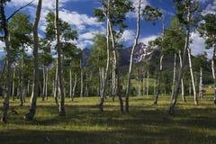 Aspen Grove und Ansicht von San Juan Mountains, Hastings MESA, Ridgway, Colorado, USA lizenzfreie stockfotos