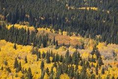 Aspen Grove und Kiefer Stockbild