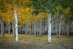 Aspen Grove in Utah stock images