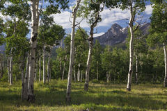 Aspen Grove and view of San Juan Mountains, Hastings Mesa, Ridgway, Colorado, USA royalty free stock photo