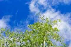 Aspen grove Royalty Free Stock Photo