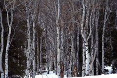 Aspen Grove in Winter Stock Photos